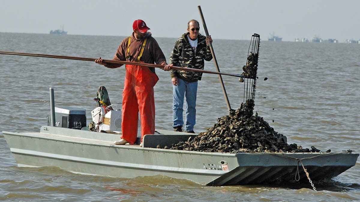 Alabama's oyster production makes a comeback