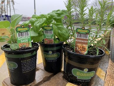 These aromatic herbs are perfect for a pizza garden. (Donna Cope/Alabama NewsCenter)