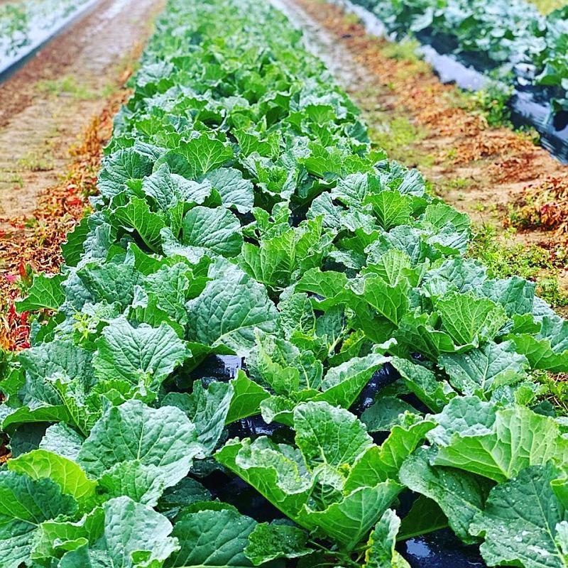 Buy lettuce or kale for $3 a bunch at Sugar Hill U-Pick Farms. (Scott Penton)
