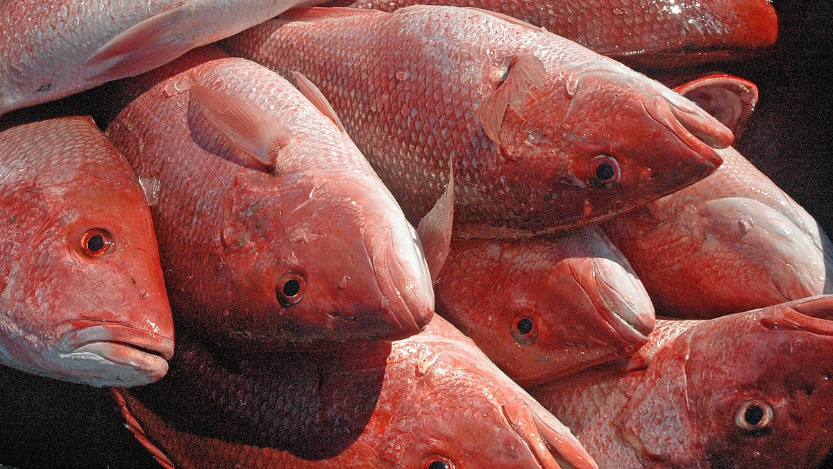 Alabama to end red snapper season for private anglers, charter vessels July 3