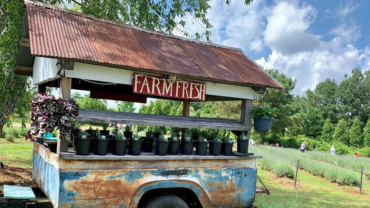 Alabama Farm Lets You Pick Your Own Lavender Alabama Newscenter
