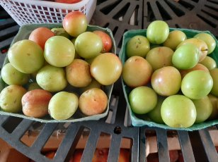 Green plumbs are plentiful at Backyard Orchards. (contributed)