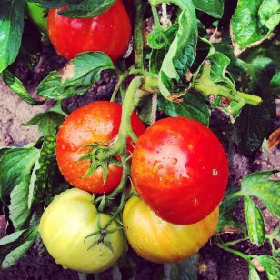 Tomatoes grow big and strong in the Alabama Wiregrass sunshine at Backyard Orchards. (contributed)