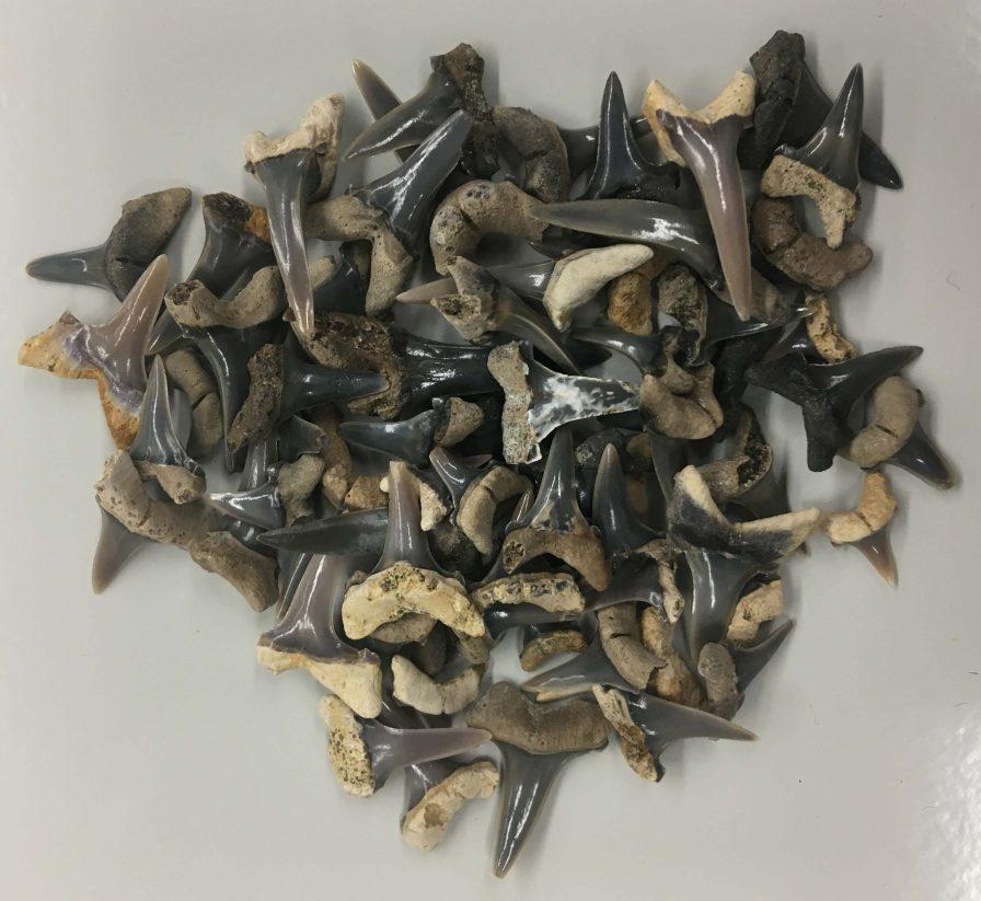 Mennerotodus parmleyi teeth. (Photo courtesy of McWane Science Center)