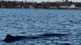 Fisherman recounts discovering whale in Alabama's Mobile Bay