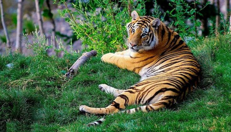 New York Female Tiger Infected With Corona Virus 1-18