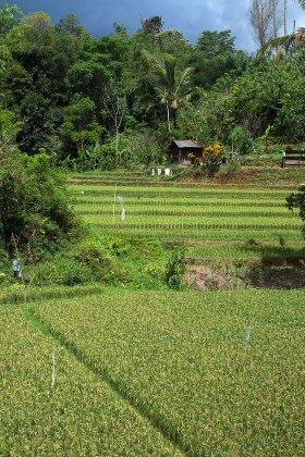 Une rizière de Pupuan à Bali