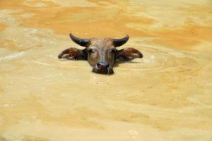 Buffle dans une mare boueuse de Ko Klang