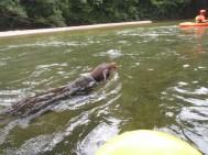 Fulo el doberman nadador