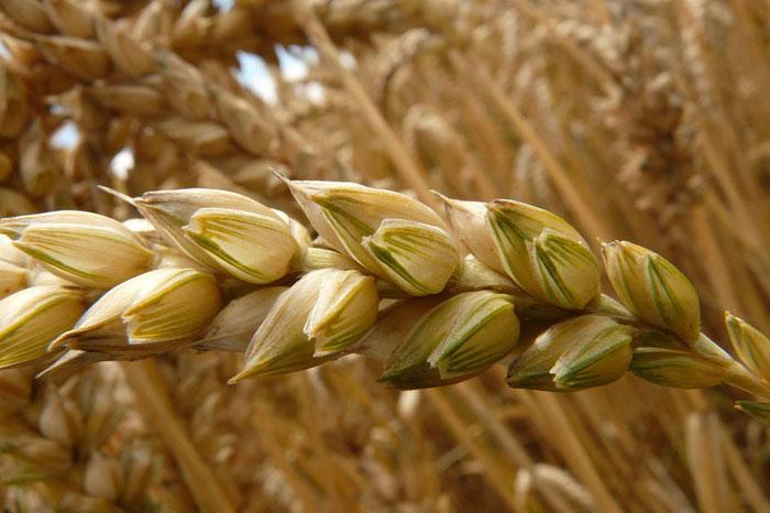 جنين القمح هل سمعت عنه؟ تعرف على فوائد هذا الكنز الطبيعي؟