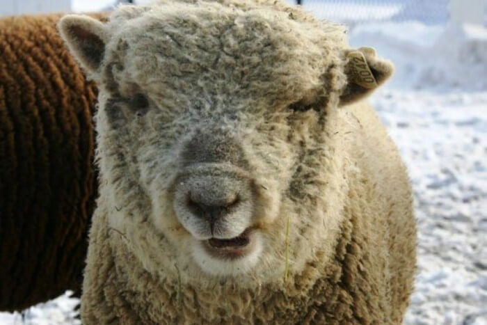 متلازمة داون خروف