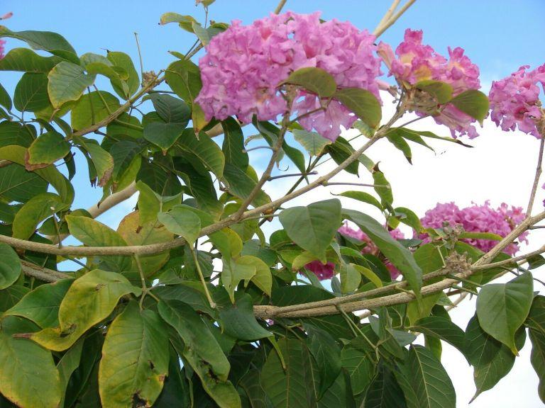 Tabebuya-Impetiginosa-Pohon-Tabebuya-Ungu