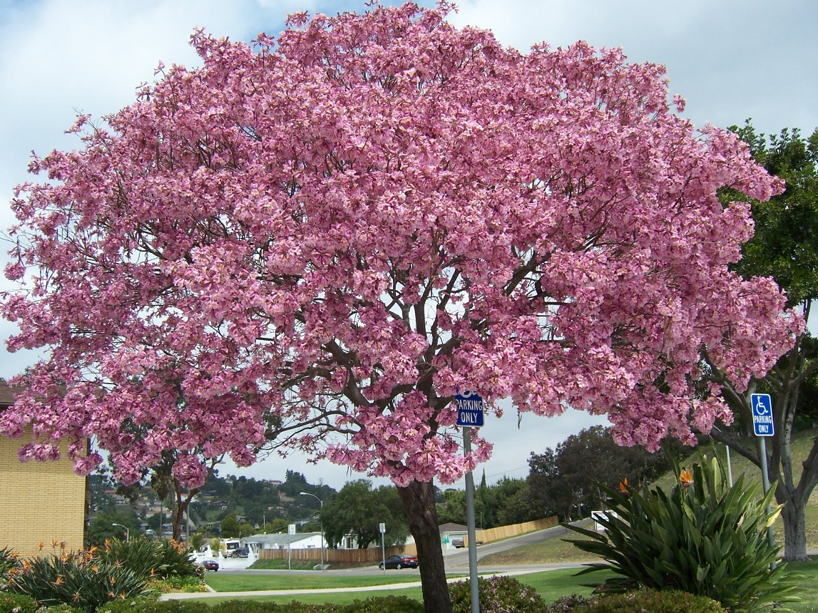 pohon-tabebuya