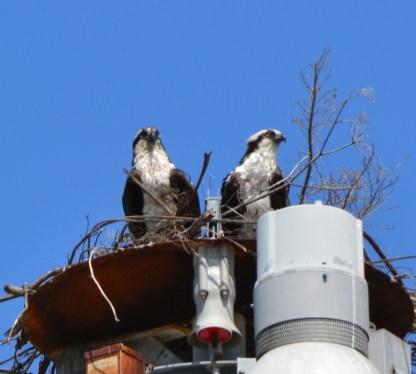 Osprey pair 2014