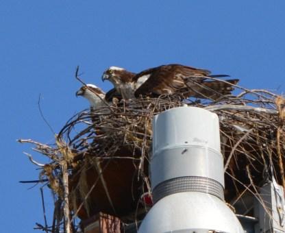 Male and female osprey on light pole nest Alameda Point