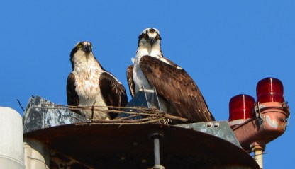 Osprey pair deciding on whether to set up nest on light pole in parking lot at Alameda Point 2014.