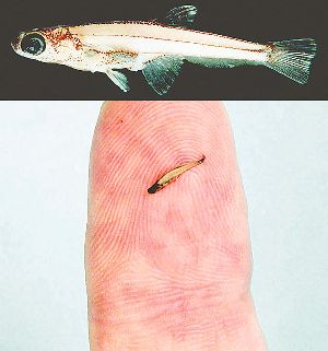 ikan terkecil di atas jari manusia (inset; foto ikan ini diperbesar)