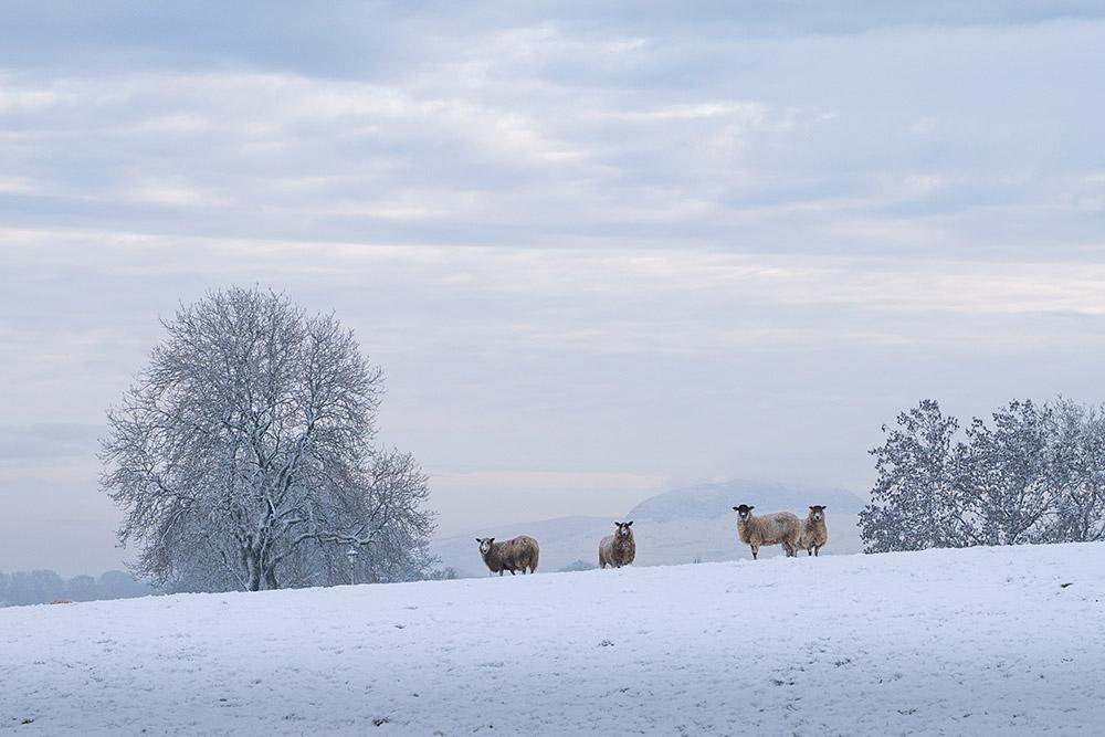 Sheep in Antrim Hills, Northern Ireland - Photo Print