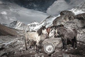 Horses at Basecamp, Mount Everest, Nepal - Fine Art Print