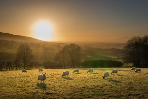 Sheep sunset near Cargan, Northern Ireland - Fine Art Print
