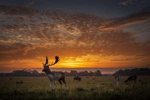 Deer at sunset in Phoenix Park, Dublin, Ireland- Fine Art Print