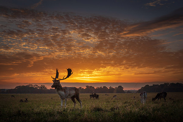 Deer at sunset in Phoenix Park, Dublin, Ireland- Fine Art Print