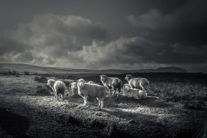 Photo_print_Sheep_Slemish_Ballymena_Northern Ireland