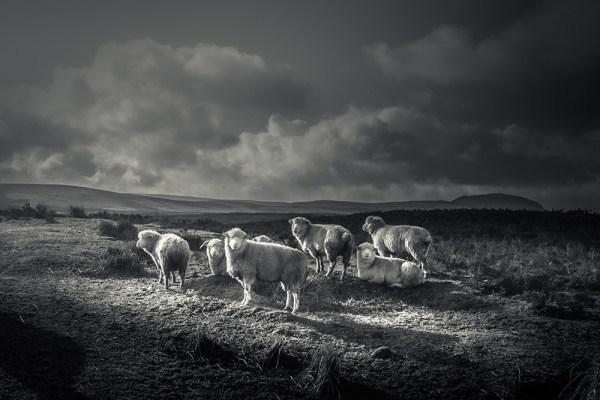 Photo_print_Sheep_Slemish_Ballymena_Northern Ireland