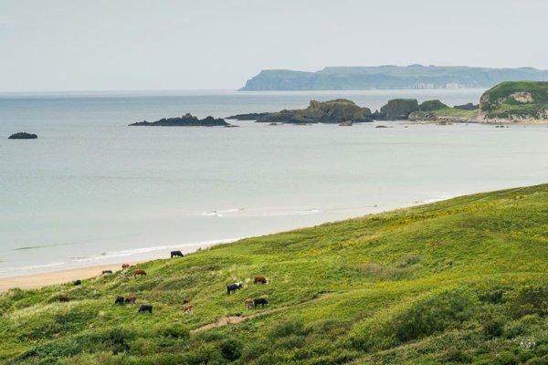 White Park Bay - Cattle grazing