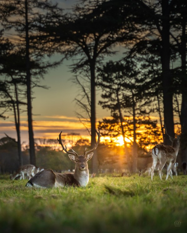 Deer in the grass at Phoenix Park