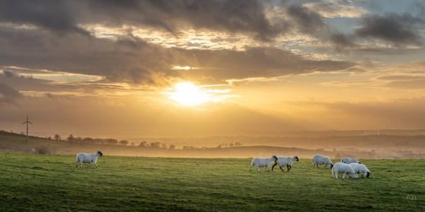 Sheep grazing in the Antrim hills, Northern Ireland – Panoramic #2