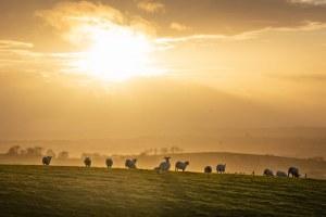 Sheep on horizon in winter sun - Northern Ireland