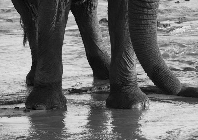 elephant in water_BW