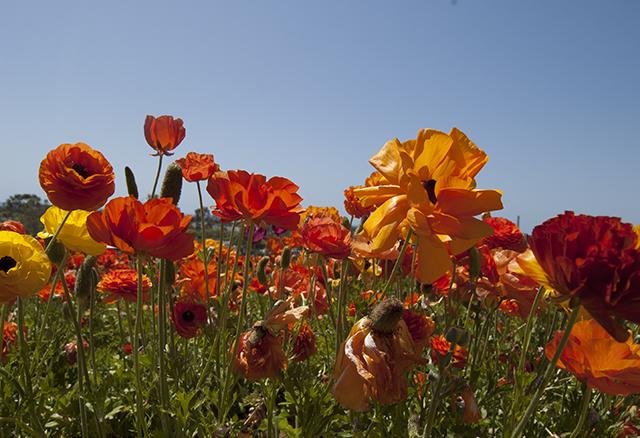flower fields 1