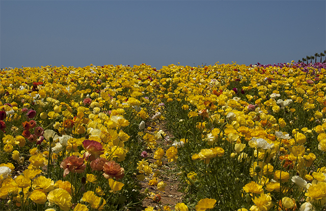 flowerfields7
