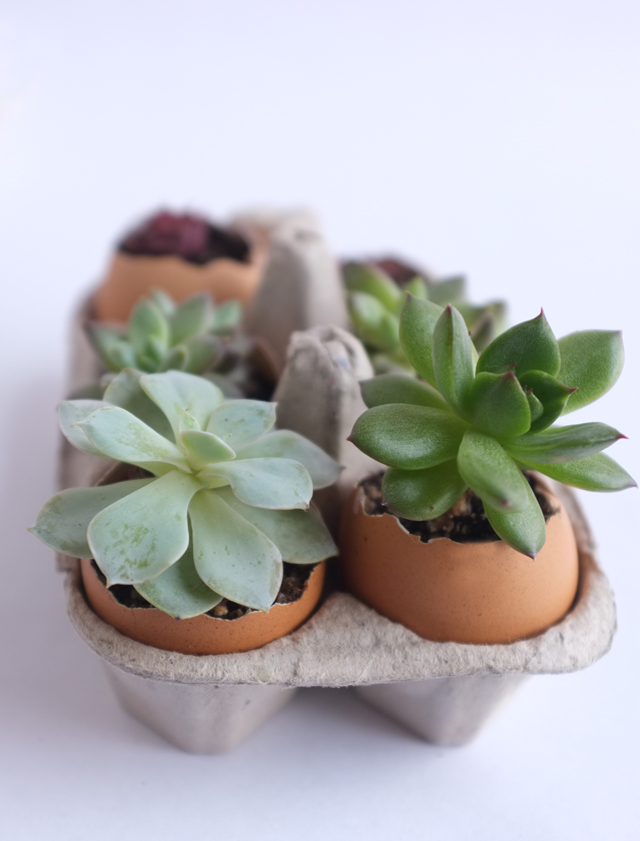 Egg Succulent 1