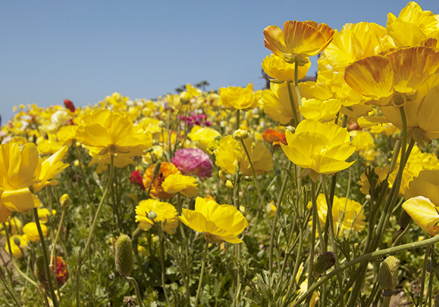 flower fields 2012