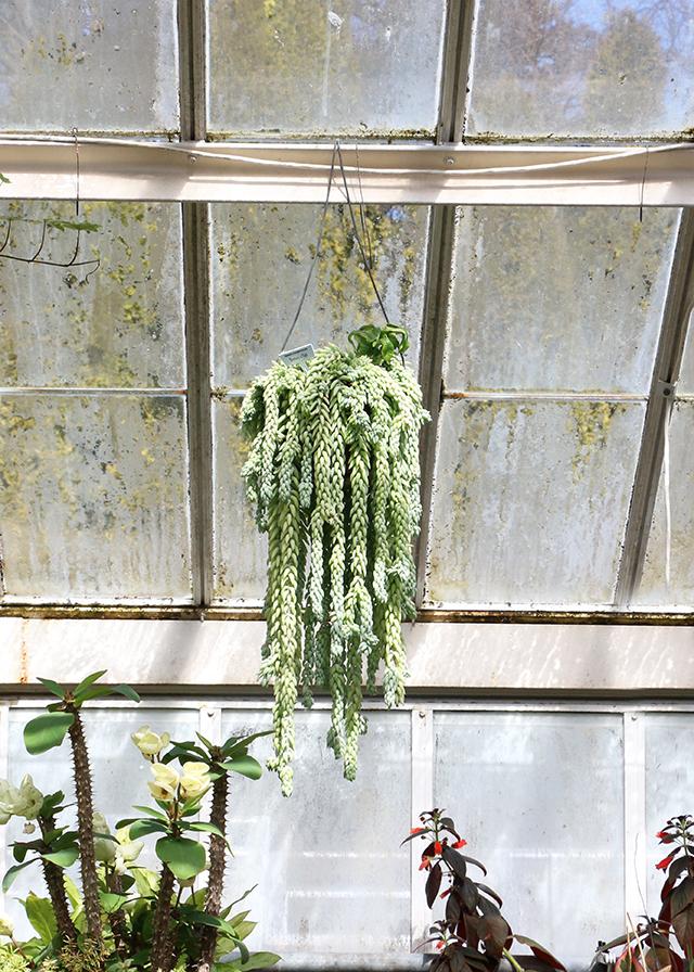 Hanging Burros Tail