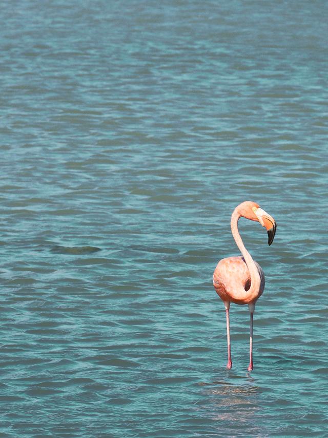 flamingo-640