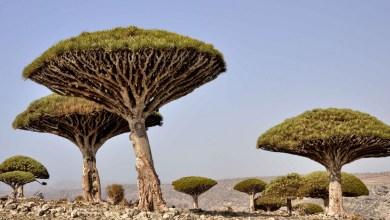 Photo of ميدل ايست : الإمارات تسرق الأشجار المهددة بالانقراض من سقطرى اليمنية (فيديو)
