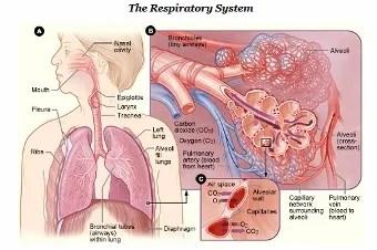 Human_respiratory_system-NIH[1] (340x226)
