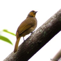 Striped Throated Bulbul