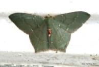 Hemithea aestivaria Common Emerald