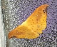 Tridrepana spp Hooktip Moth