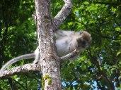 Monkeys eye up the offerings