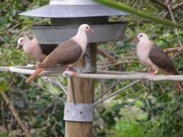 Pink Pigeons