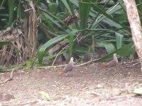 Wild pink pigeons