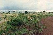 Lions in Nairobi Park