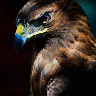 Ruby the Red Tailed Hawk – Jackson, WY