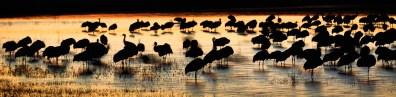 Sandhill Crane Sunset – Bosque del Apache, NM
